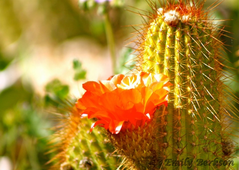 Another flowering cactus - taken in 2012