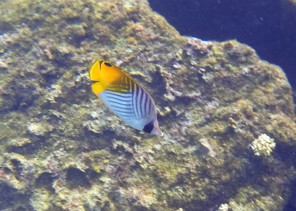 I'm pretty sure this one is a threadfin butterflyfish.