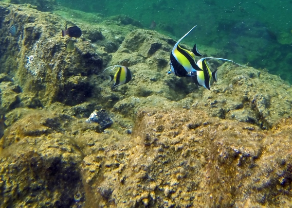 I believe these are pennant butterfly fish.