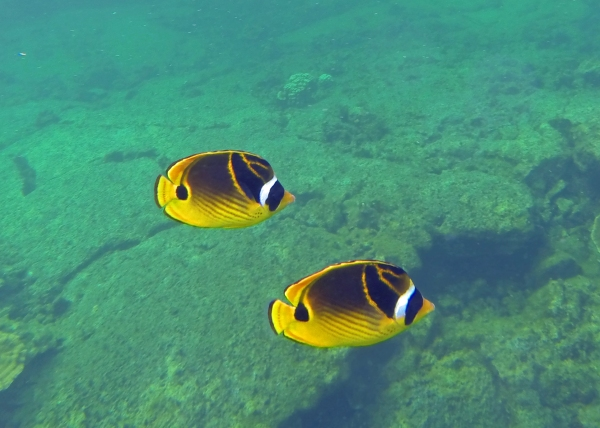 This one seems to be a raccoon butterflyfish.