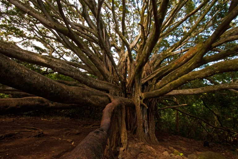 After less than a mile, we arrived at one of the largest banyan trees I've ever seen (although there are larger ones elsewhere on Maui).