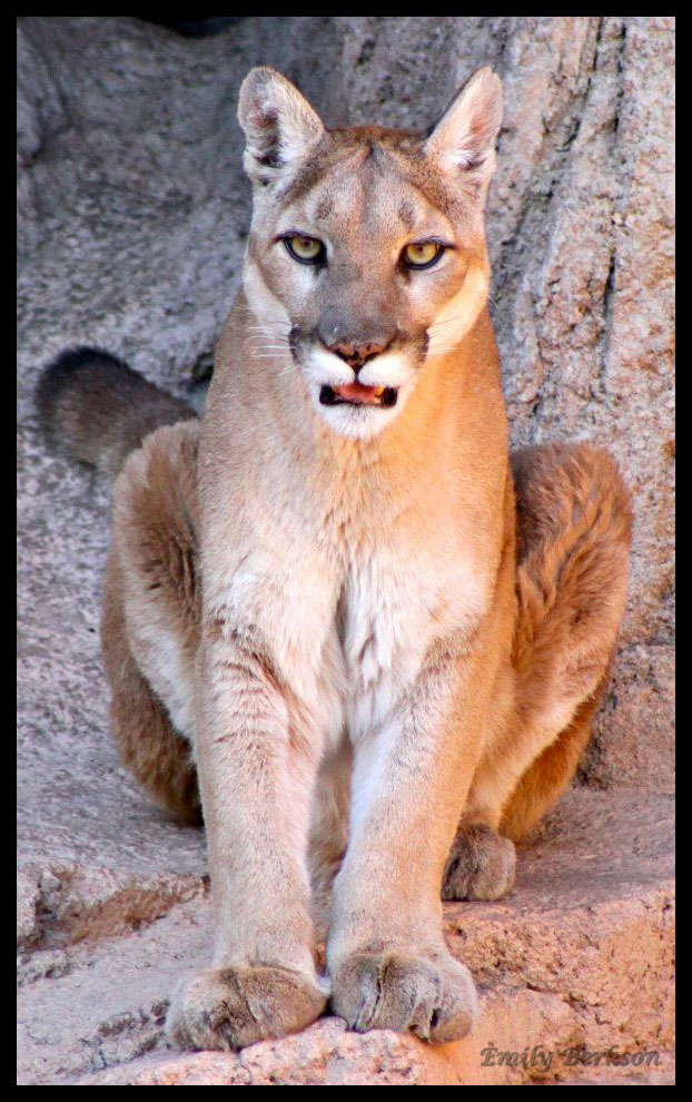 One of the mountain lions in a brother/sister pair - taken back in 2012