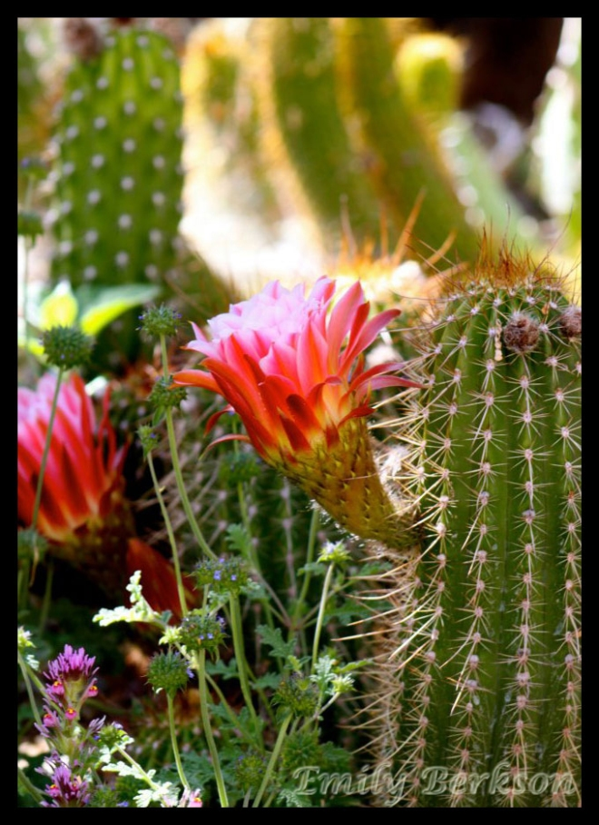 Flowering cactus - taken on a previous visit in 2012