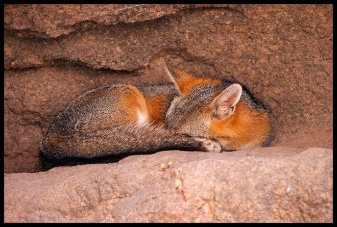 Desert fox, asleep by midday.