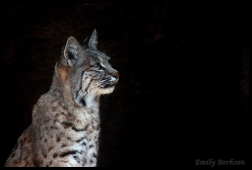 Another shot of the inquisitive bobcat.