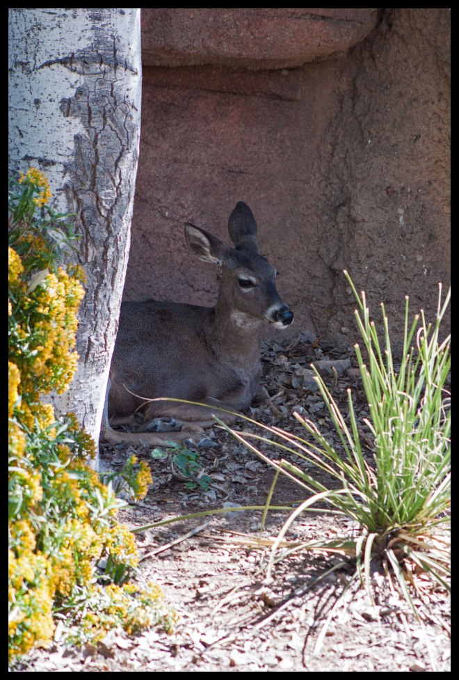The deer trying to steal some shade, or perhaps trying to avoid the wafting scent of the mountain lion.