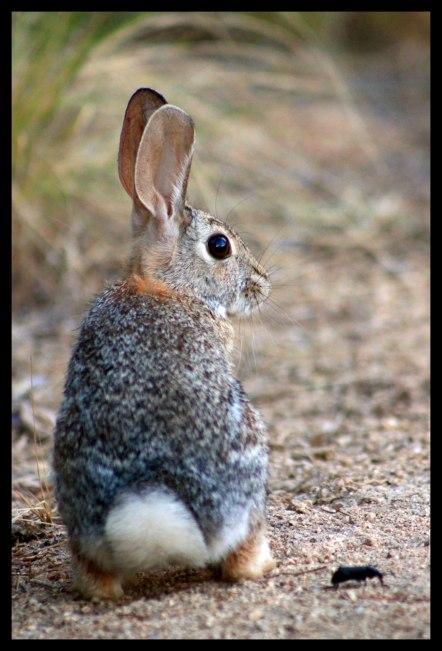 Kitt Peak desert rabbit.