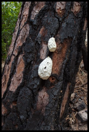 This poor tree had several termite nests.