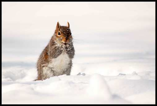 Winter squirrel.