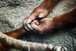 Father and daughter orangutan.