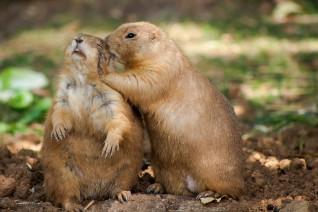 Prairie dogs whispering secrets.