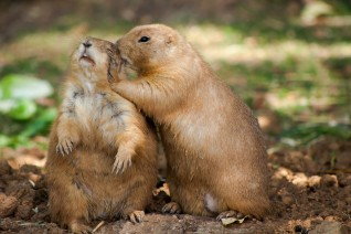 Prairie dogs whispering secrets.