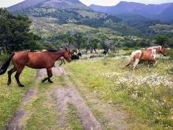 Free-roaming Chilean horses.